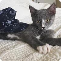 Adopt A Pet :: Strudel - Hampton, VA