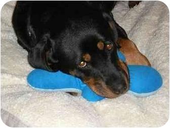 Rottweiler Puppy for adoption in Santa Barbara, California - Yuki