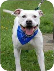 American Bulldog Mix Dog for adoption in Sacramento, California - CASPER SUPER URGENT