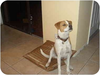 Labrador Retriever Mix Dog for adoption in Coral Springs, Florida - Mickey