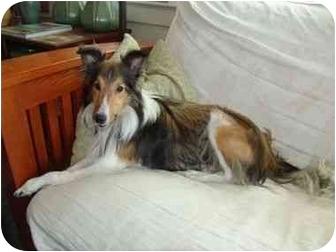 Sheltie, Shetland Sheepdog Dog for adoption in San Diego, California - Sammy