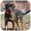 Photo 1 - Rottweiler Mix Dog for adoption in Austin, Minnesota - Cortez