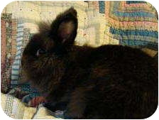 Lionhead Mix for adoption in Williston, Florida - Lady Daphne