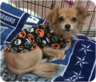 Chihuahua Dog for adoption in Phoenix, Arizona - Stevie - little long  hair