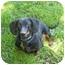 Photo 1 - Dachshund Dog for adoption in San Jose, California - Rocco
