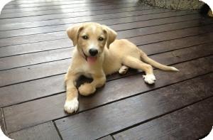 Labrador Retriever/Collie Mix Puppy for adoption in Alpharetta, Georgia - Walker