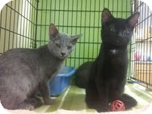 Domestic Shorthair Kitten for adoption in Maryville, Tennessee - Tasha