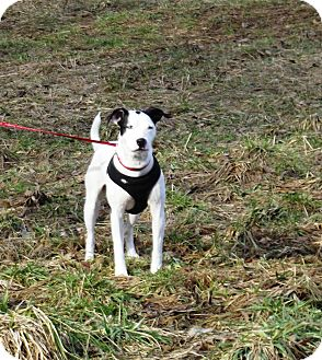 Bull Terrier Mix Dog for adoption in Morgantown, West Virginia - Maui