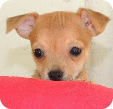 Chihuahua/Jack Russell Terrier Mix Puppy for adoption in La Habra Heights, California - Carson