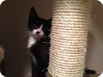 Domestic Shorthair Kitten for adoption in East Hanover, New Jersey - Addie