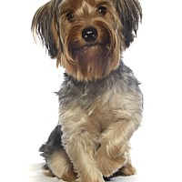 Yorkie, Yorkshire Terrier/Maltese Mix Puppy for adoption in Fort Lauderdale, Florida - Yogi