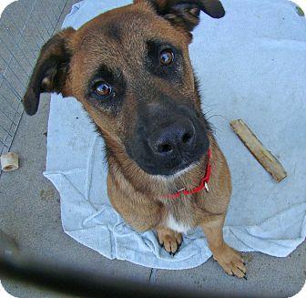 Belgian Malinois Mix Dog for adoption in Marietta, Georgia - CHASE (R)