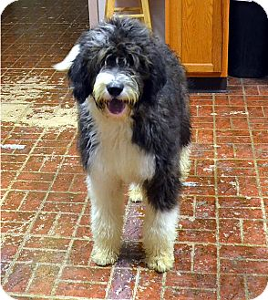 English Sheepdog/Poodle (Standard) Mix Puppy for adoption in Albion, New York - Razzle