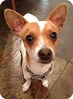 Chihuahua Mix Dog for adoption in Phoenix, Arizona - Moose