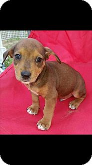 Jack Russell Terrier/Feist Mix Puppy for adoption in Washington, D.C. - Dan