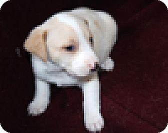 Coonhound (Unknown Type)/Labrador Retriever Mix Puppy for adoption in Portola, California - Becca