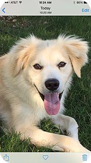 Golden Retriever/Finnish Spitz Mix Dog for adoption in West Milford, New Jersey - TUCKER-pending
