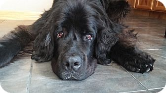 Newfoundland Dog for adoption in Silverthorne, Colorado - Maxamoose