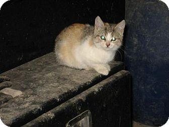 Domestic Mediumhair Kitten for adoption in Hamilton, Ontario - Mango