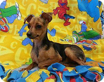Miniature Pinscher Mix Dog for adoption in Pluckemin, New Jersey - Parcel