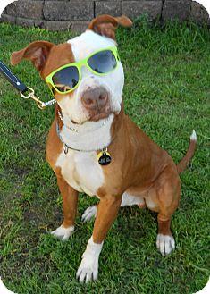 American Bulldog/Staffordshire Bull Terrier Mix Dog for adoption in Phoenix, Arizona - WILSON