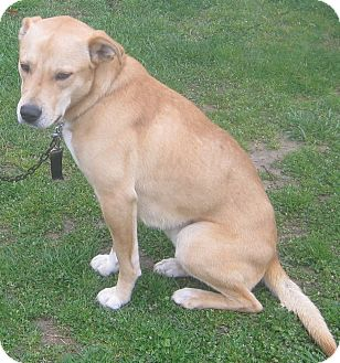 Labrador Retriever Mix Dog for adoption in Hillsboro, Ohio - Carter