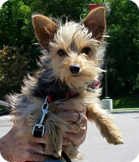 Maltese/Yorkie, Yorkshire Terrier Mix Puppy for adoption in Fairview Heights, Illinois - Lucy