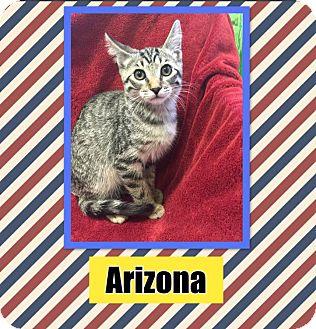 Domestic Shorthair Kitten for adoption in Edwards AFB, California - Arizona