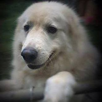 Great Pyrenees/Anatolian Shepherd Mix Dog for adoption in Earl, North Carolina - Bella