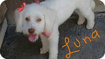 Poodle (Miniature)/Maltese Mix Dog for adoption in San Diego, California - Luna