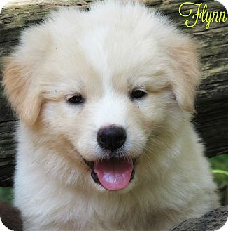 Great Pyrenees/German Shepherd Dog Mix Puppy for adoption in Kyle, Texas - Flynn