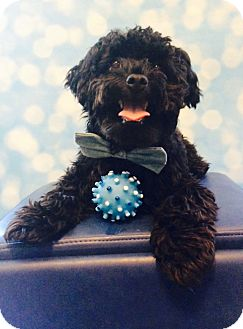 Maltese/Poodle (Miniature) Mix Puppy for adoption in Lakeland, Tennessee - Hamilton
