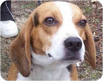 Beagle Dog for adoption in Ventnor City, New Jersey - HERBIE