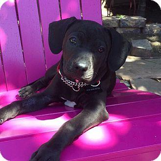 Labrador Retriever/Beagle Mix Puppy for adoption in El Segundo, California - Ebby