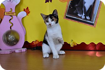 Calico Kitten for adoption in North Judson, Indiana - Thea