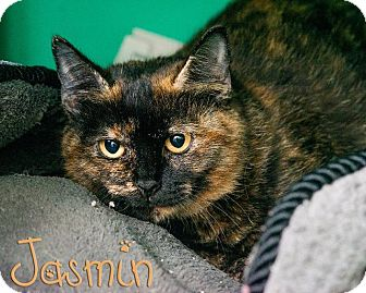 Domestic Shorthair Cat for adoption in Somerset, Pennsylvania - Jasmin
