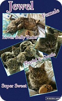 Maine Coon Cat for adoption in Richmond, California - Jewel