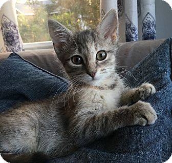Domestic Shorthair Kitten for adoption in Wayne, New Jersey - Henrietta