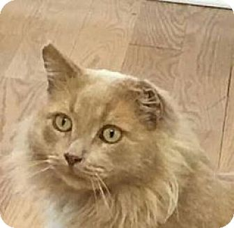 Domestic Longhair Cat for adoption in San Pablo, California - WILLIE