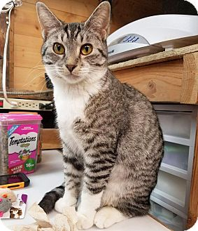 Domestic Shorthair Kitten for adoption in Lombard, Illinois - Brighty