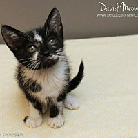Adopt A Pet :: David Meowie - Kenner, LA