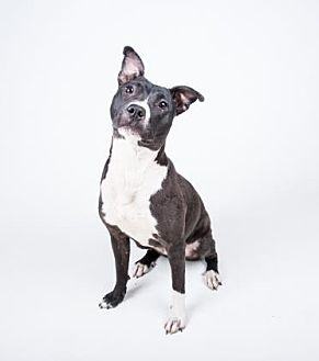 Pit Bull Terrier Mix Dog for adoption in Decatur, Georgia - Paprika