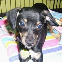 Mixed Breed (Small) Mix Dog for adoption in Stanwood, Washington - Fairy- AVAILABLE