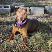 Adopt A Pet :: COPPER - Converse, TX