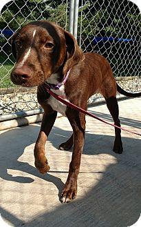 Labrador Retriever/Pointer Mix Dog for adoption in Hanna City, Illinois - Diamond-adoption pending