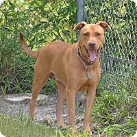 Adopt A Pet :: 10310345 DAISY - Brooksville, FL
