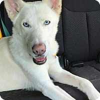 Siberian Husky Dog for adoption in Hewitt, New Jersey - Chowder