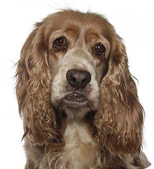 Cocker Spaniel Dog for adoption in Fort Lauderdale, Florida - Maggie
