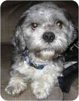 Lhasa Apso/Poodle (Standard) Mix Dog for adoption in Mays Landing, New Jersey - Maxwell