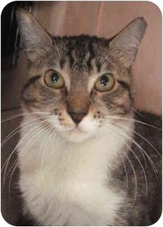 Domestic Shorthair Cat for adoption in Brooklyn, New York - Princess 1